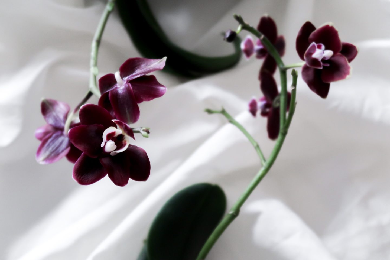 Glastonberry Opium Noir