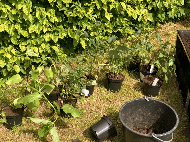 Utplantering av dahlior